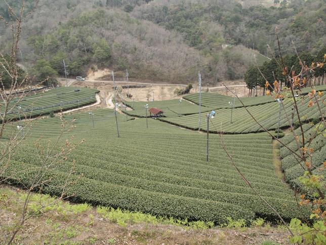 京都府相楽郡南山城村 茶畑