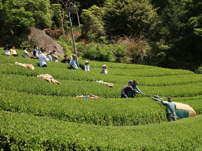2日目のお茶刈りの様子。