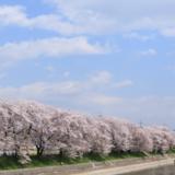 【Photo Album】近所の桜並木 | Acca's Website