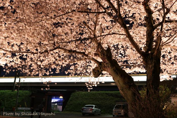 【Photo Album】夜桜 in 安福寺@京都府木津川市   Acca's Webiste