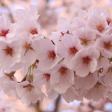 【Photo Album】桜 in 背割提@京都府八幡市 | Acca's Website