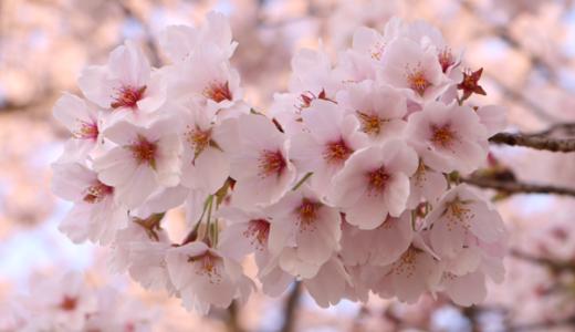 【Photo Album】桜 in 背割提@京都府八幡市 & 近所