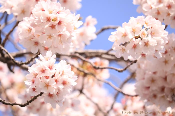 【Photo Album】桜 in 背割提@京都府八幡市 & 近所 | Acca's Website